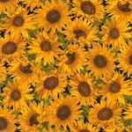 TT-Harvest-CM6138-Sunflower